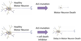 Determining Cell Death Pathways Activated in ALS Models