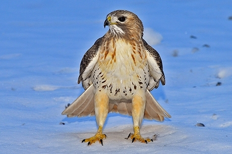 Flying High Red Tailed Hawks Thrive On Queens Campus St John S University